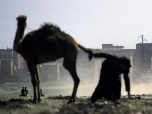Getarnter Aufklärer bei Bodenproben in LibyenQualle: http://kamelopedia.net/index.php/Datei:Kamelquaelerei.jpg