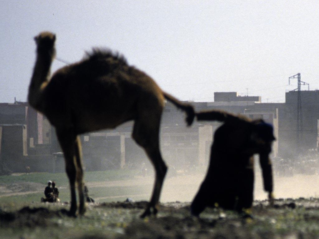Getarnter Aufklärer bei Geländesondierung in Libyen<br><small>Qualle: http://kamelopedia.net/index.php/Datei:Kamelquaelerei.jpg</small>