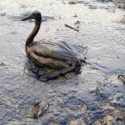 Oiled_Bird_-_Black_Sea_Oil_Spill_111207