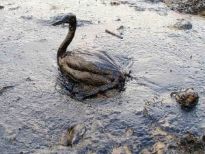 Wende bei der Ölpest im Golf? Oiled_Bird_-_Black_Sea_Oil_Spill_111207