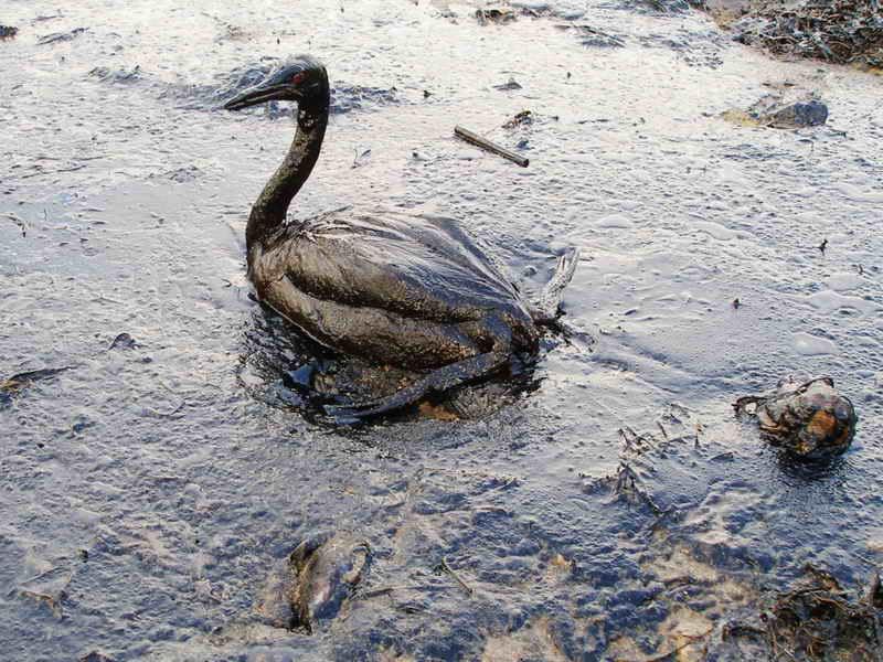 Oiled_Bird_-_Black_Sea_Oil_Spill_111207