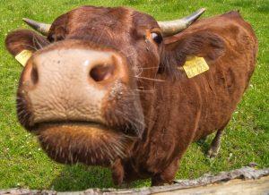 Extensive Rundballenhaltung schont Bayerns Weiden